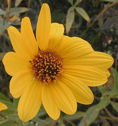 Helianthus pauciflorus | Stiff Prairie Showy Sunflower | 20_Seeds