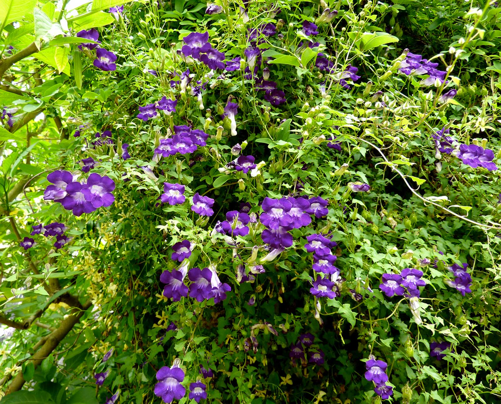 Asarina scandens Joan Lorraine | Twining Snapdragon | 20_Seeds