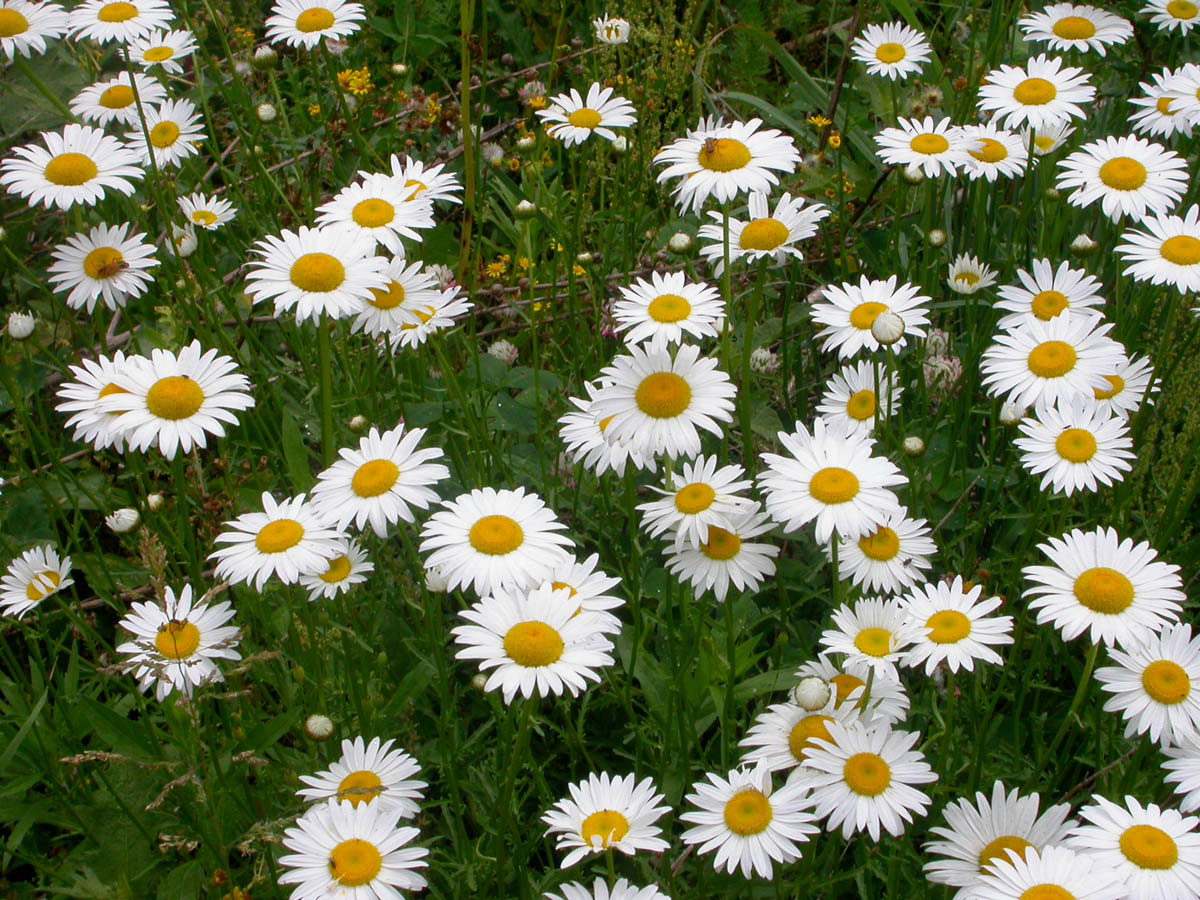 Leucanthemum vulgare | Ox-Eye Daisy | Marguerite | 100_seeds