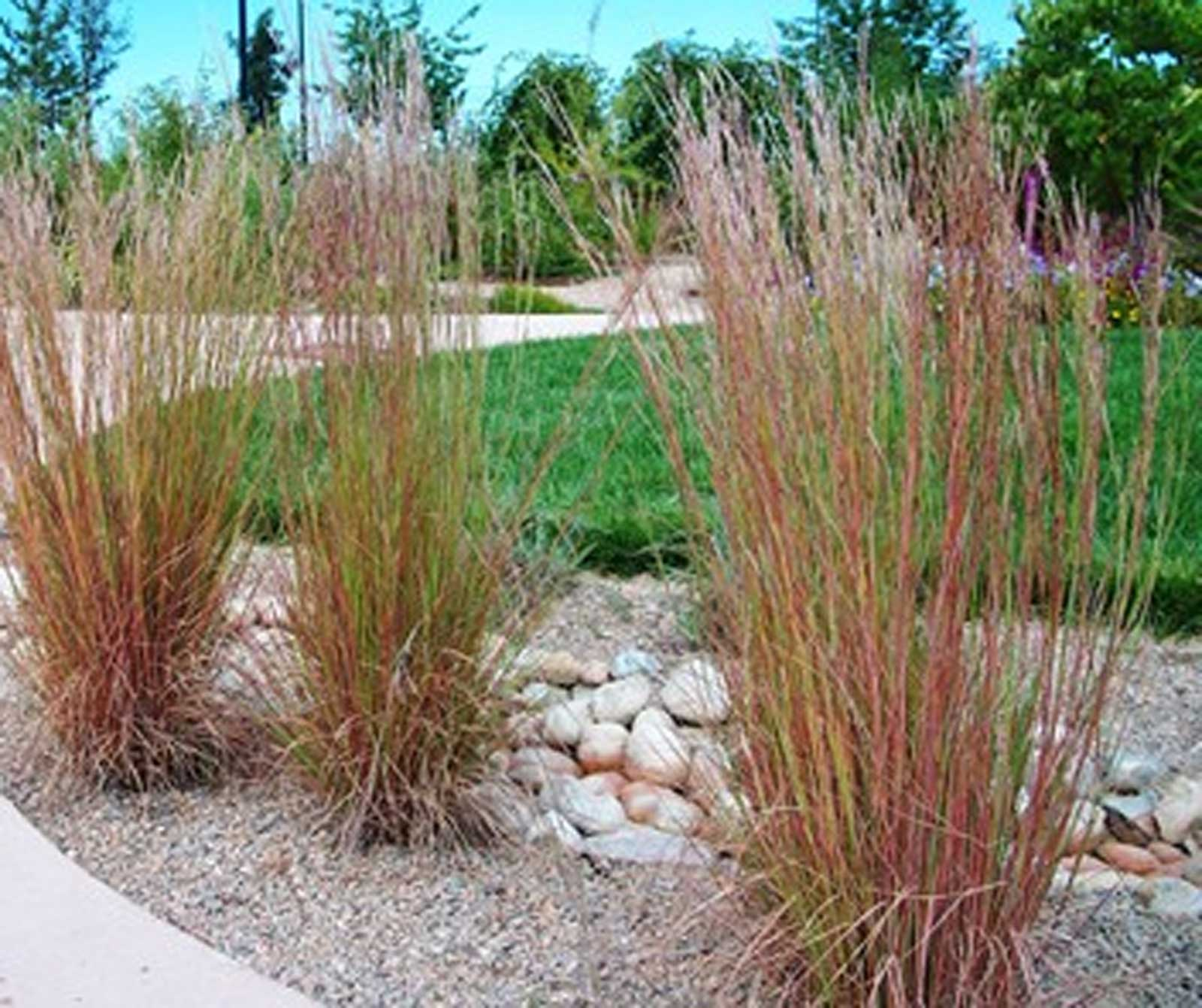 Schizachyrium scoparium | Little Bluestem | Bunchgrass | 100_Seeds