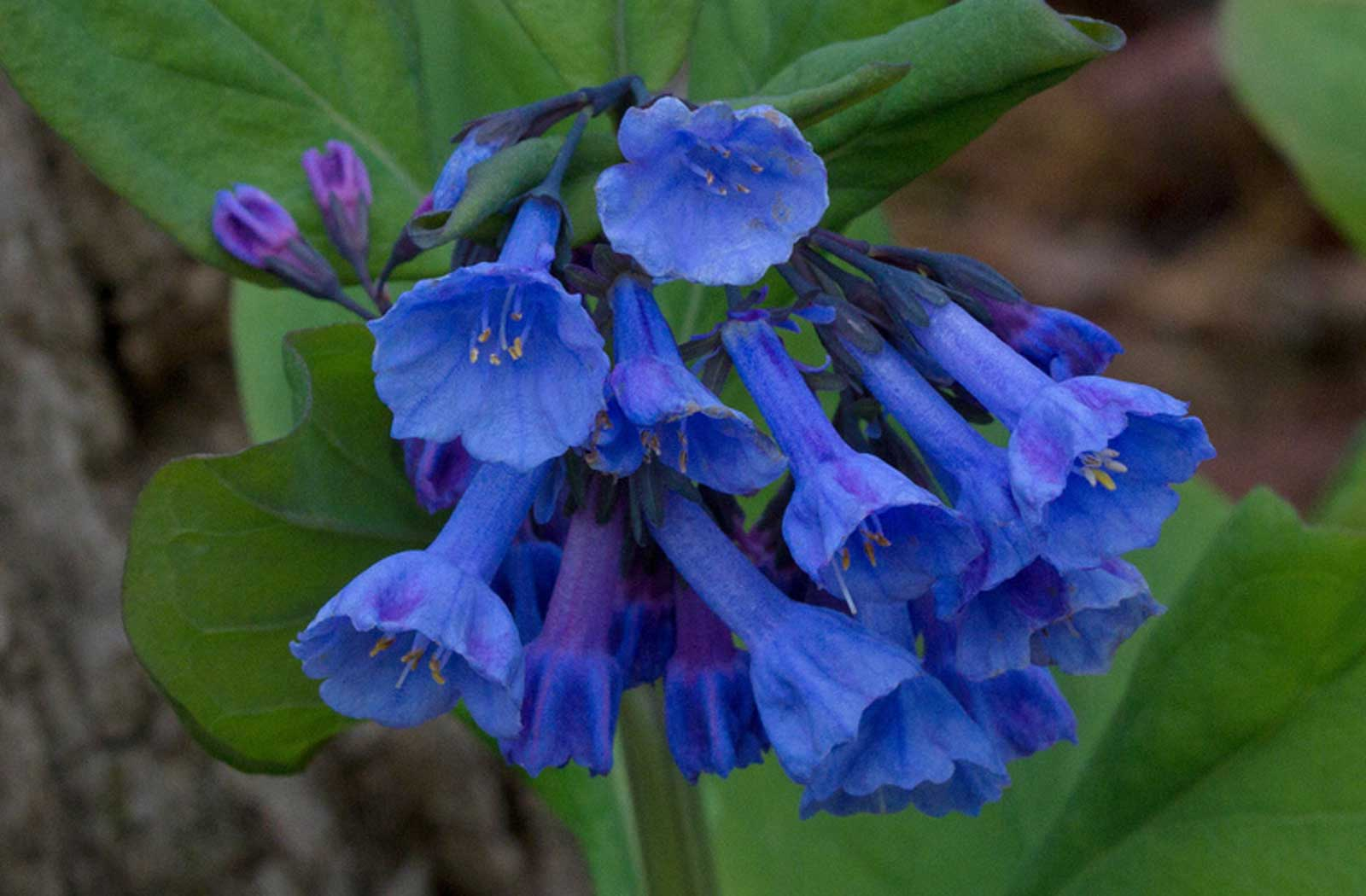 Mertensia virginica | Virginia Bluebells | Virginia Cowslip | 20_Seeds