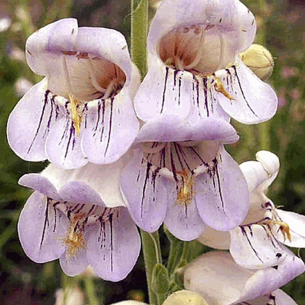 Penstemon pallidus | Pale Beardtongue | 200_Seeds