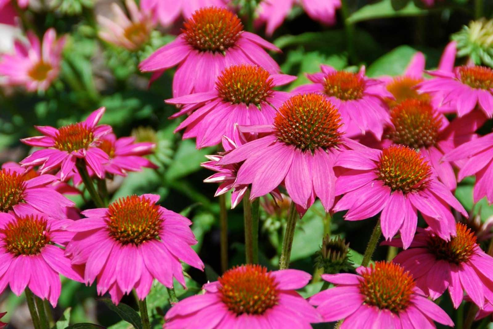 echinacea purpurea powwow wild berry eastern purple coneflower 20 seeds at. Black Bedroom Furniture Sets. Home Design Ideas