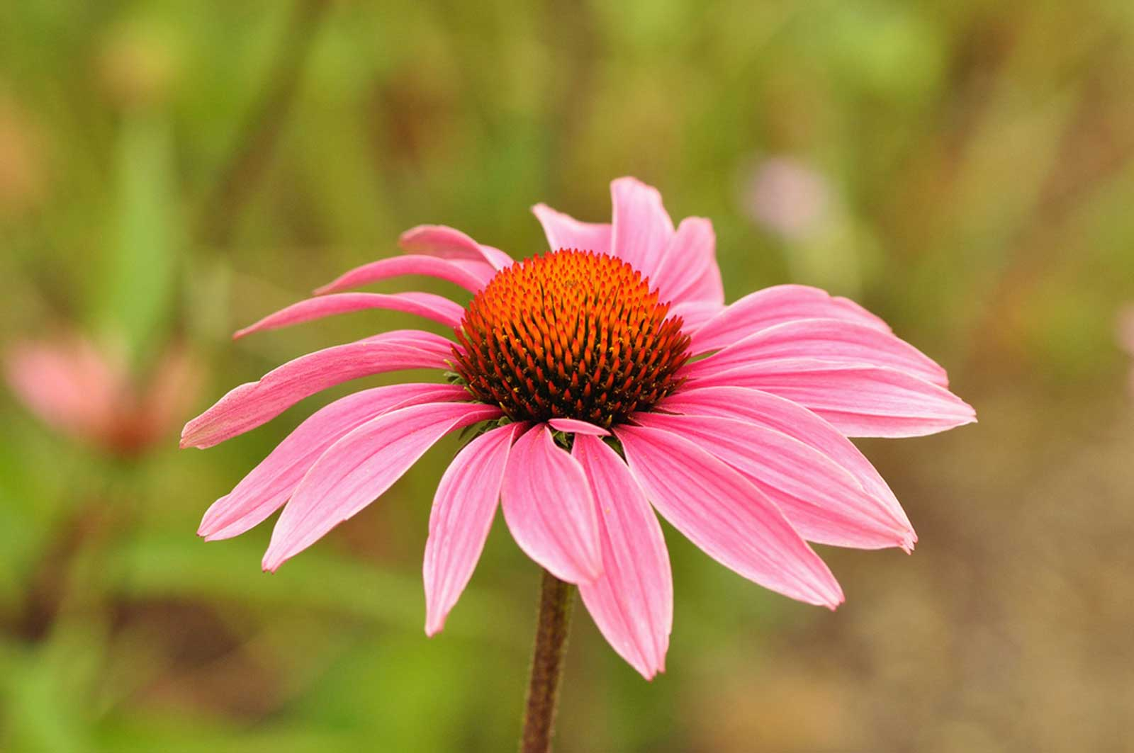 Echinacea purpurea | Eastern Purple Coneflower | 20_Seeds