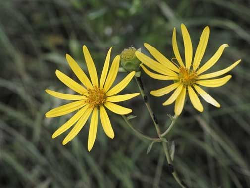 Silphium trifoliatum | Whorled-Rosinweed | Three leaved Rosinweed | 50_Seeds