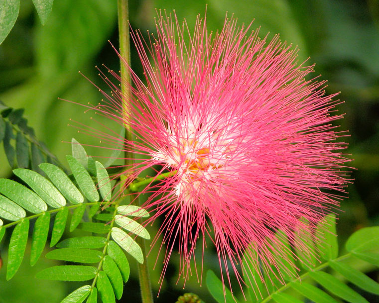 Albizia saman | Five Oclock Rain Tree | Monkeypod | Mimosa | 20_Seeds