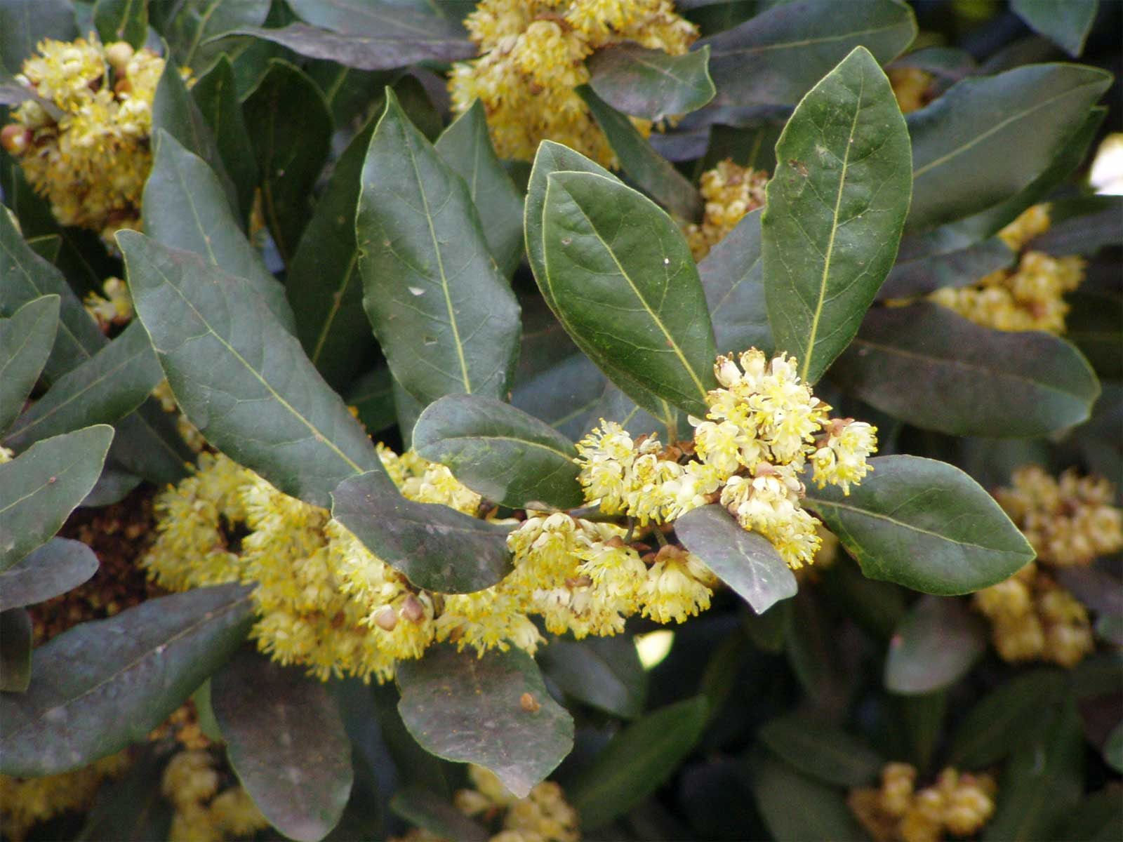 Laurus nobilis | Bay Laurel | Sweet-Bay | Bayleaf | 5_Seeds