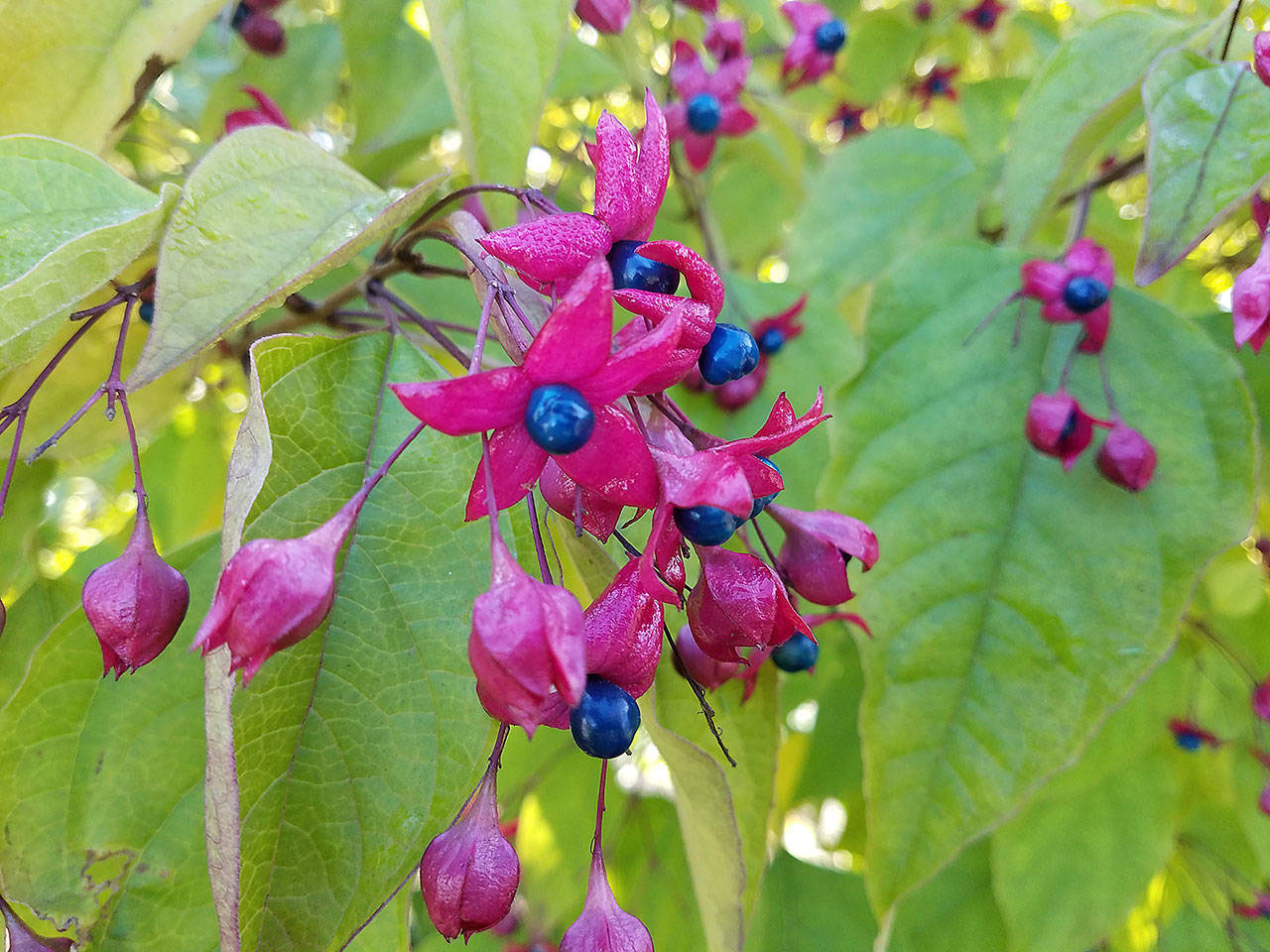Clerodendrum trichotomum | Harlequin Glory Bower | Chance Tree | 10_Seeds - Click Image to Close