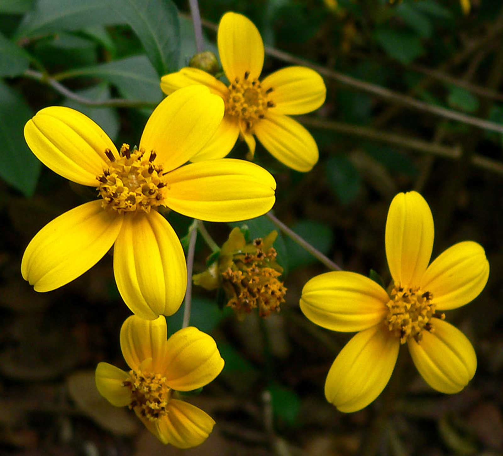 Coreopsis mutica | 20_seeds - Click Image to Close