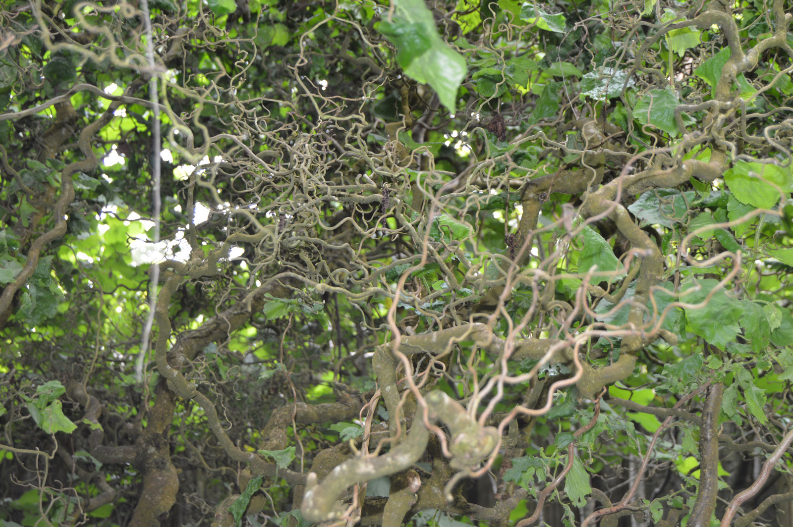 Harry lauder walking stick trees - Corylus Avellana Contorta Harry Lauders Walking Stick 5_seeds