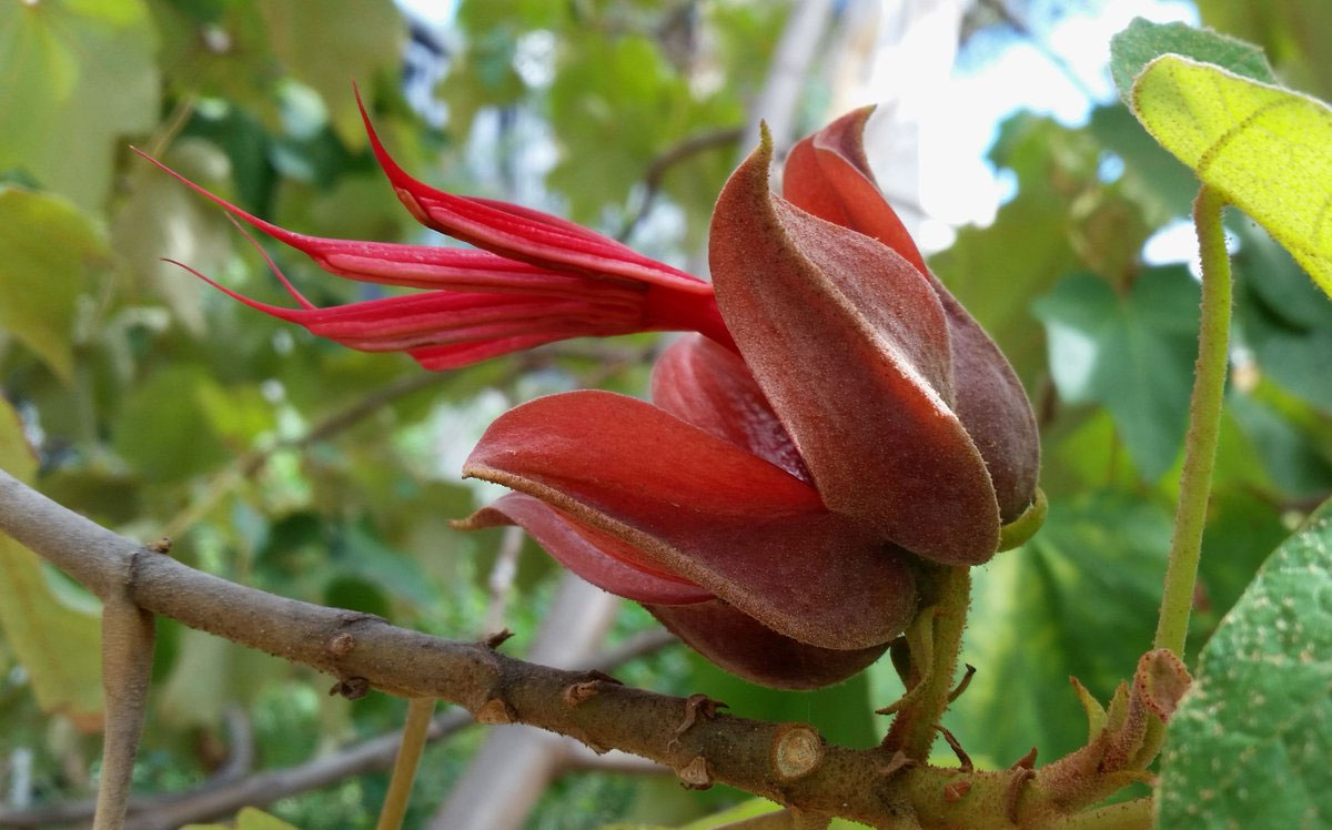 Chiranthodendron pentadactylon | Devils Hand Tree | 5_Seeds