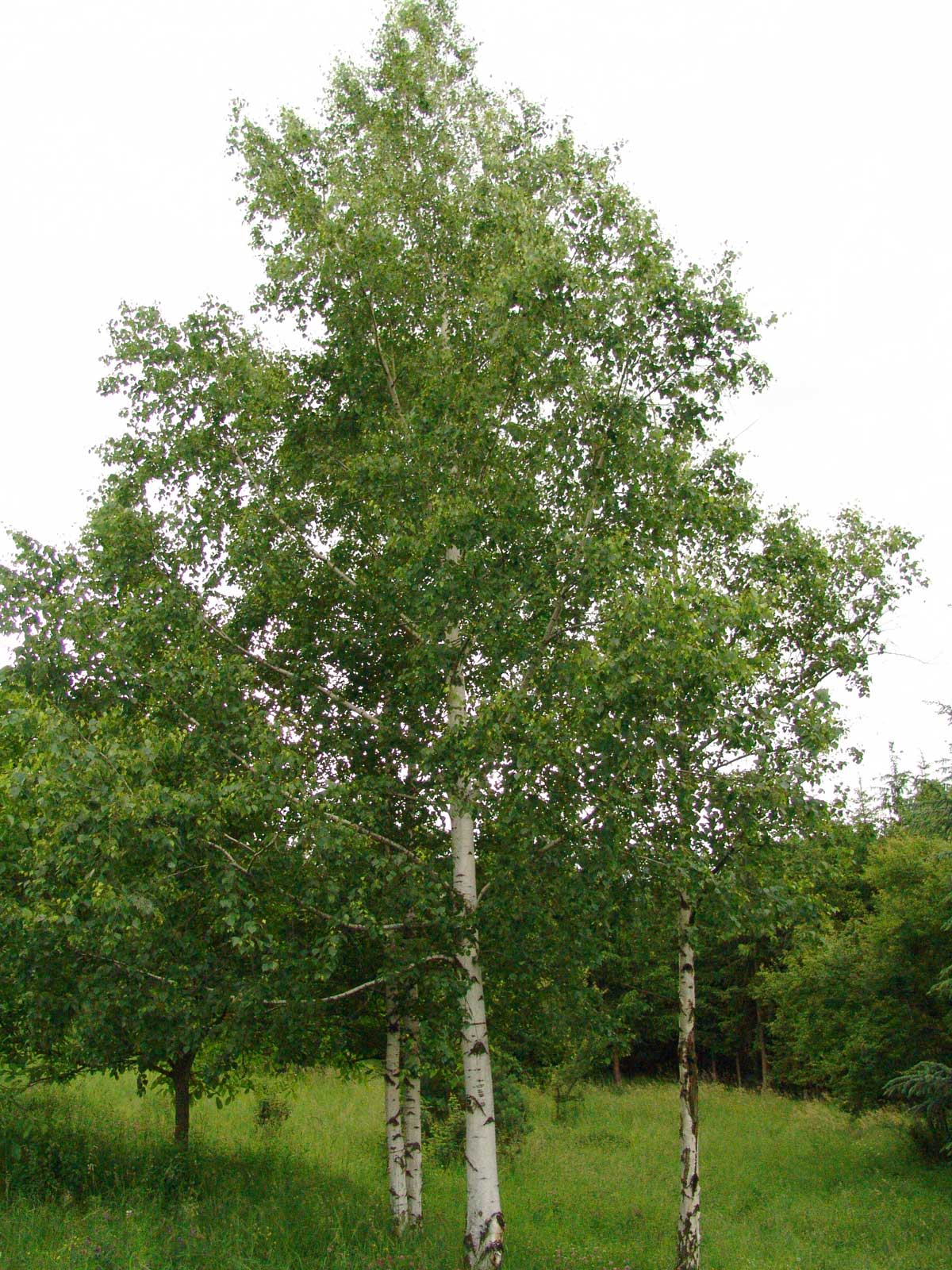 Betula pendula | European White Silver Warty Birch | 100_Seeds