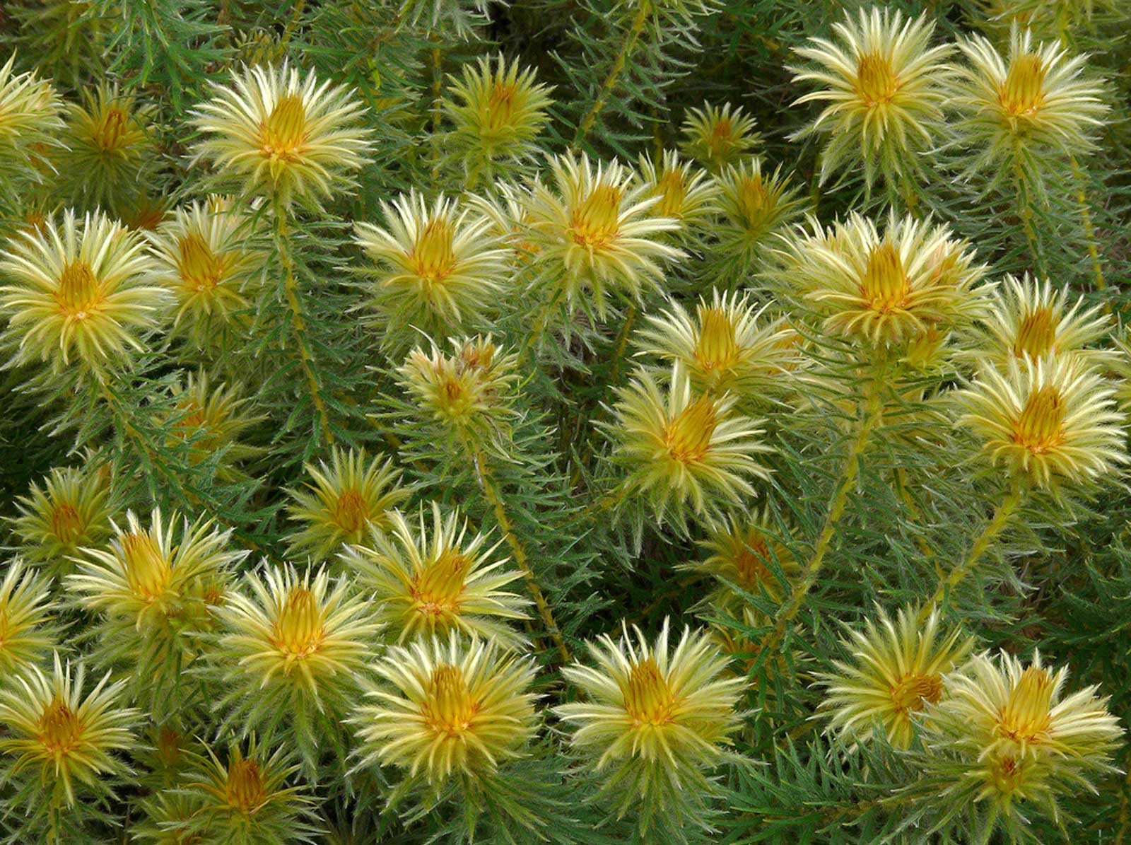 Phylica pubescens | Featherhead | Flannel Flower | 50_Seeds