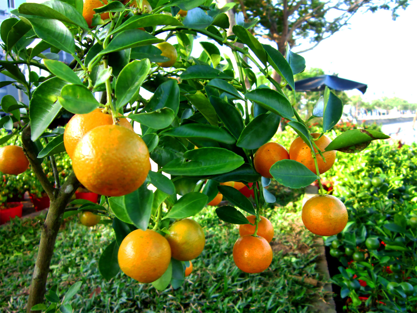 how to grow kumquat from seed