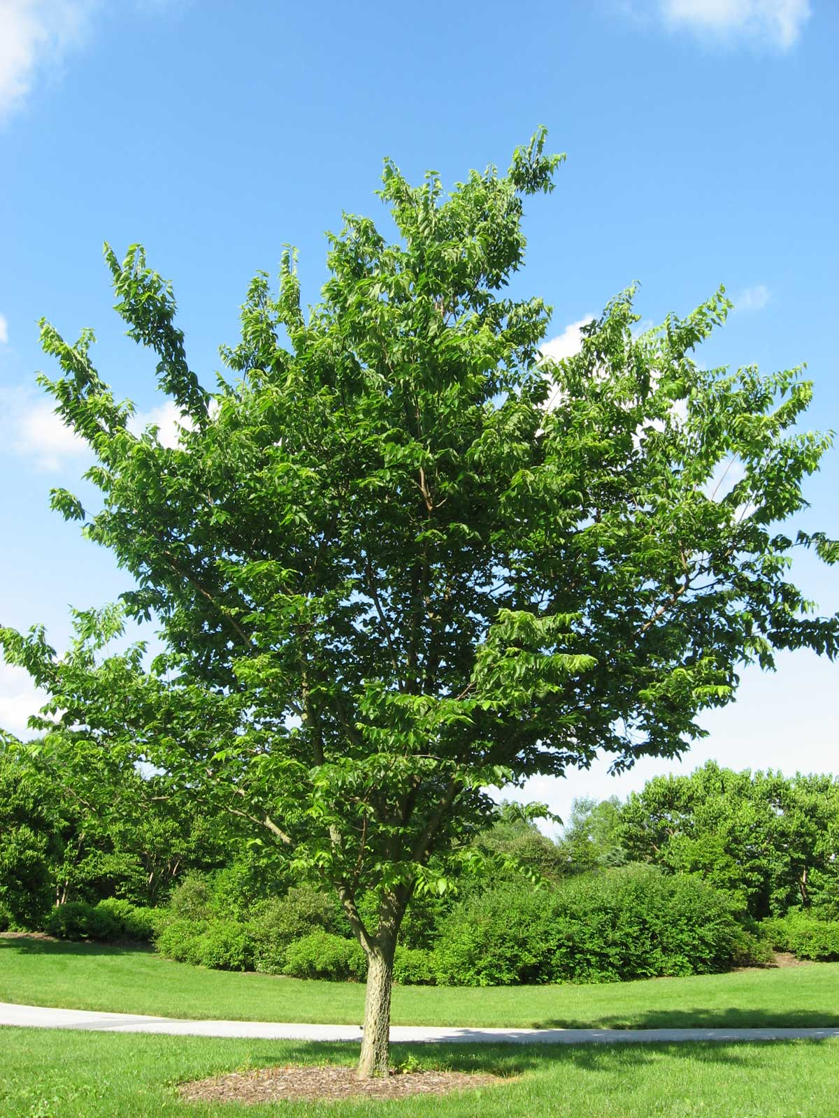 Celtis occidentalis | Hackberry | Nettletree | Sugarberry | 20_Seeds