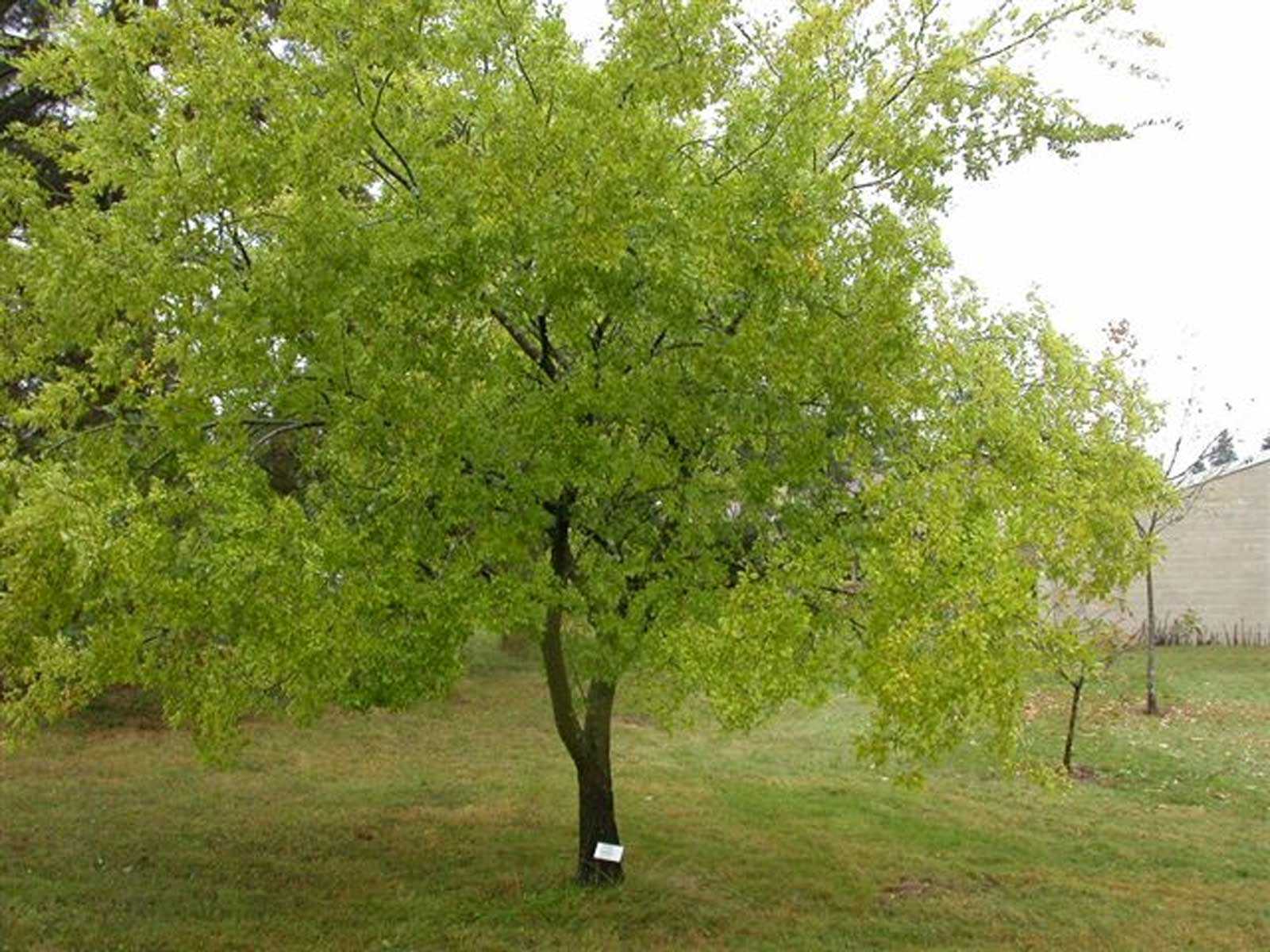 Ulmus parvifolia | Chinese Elm | Lacebark Elm | 10_Seeds - Click Image to Close