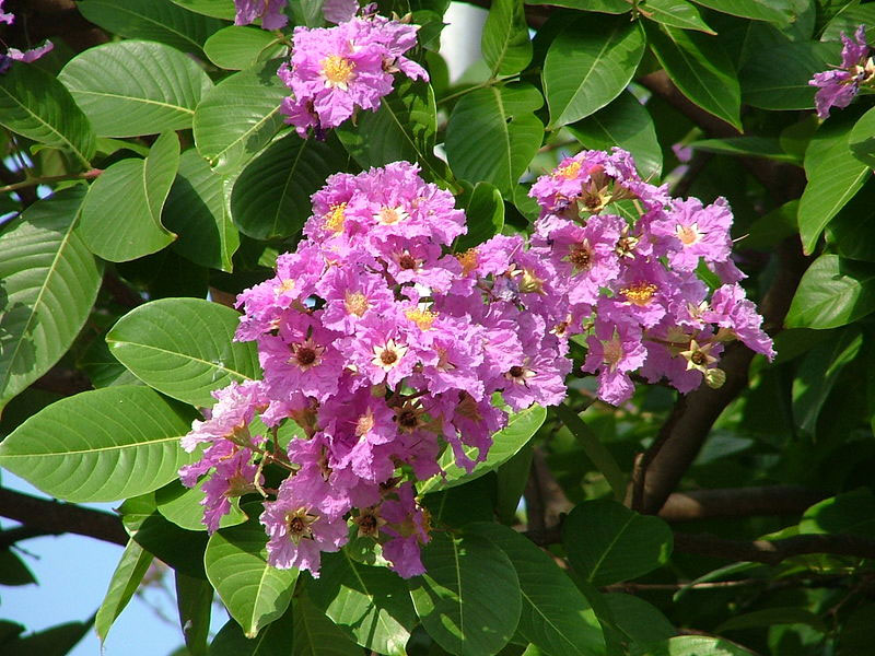 Lagerstroemia speciosa | Pride of India | Queens Giant Crepe Myrtle | 20_Seeds