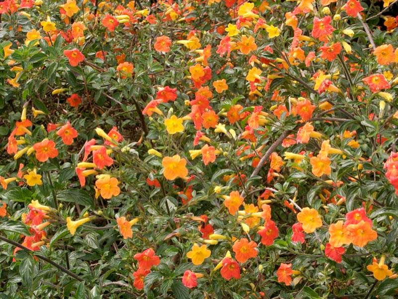 Streptosolen jamesonii | Marmalade Bush | Orange Browallia |Firebush | 200_Seeds
