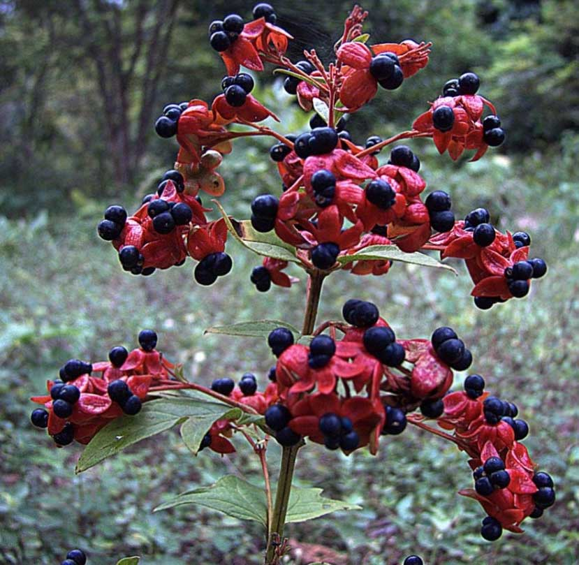 Ochna serrulata | Birds Eye | Mickey Mouse Bush | Small Leaved Plane | 5_Seeds