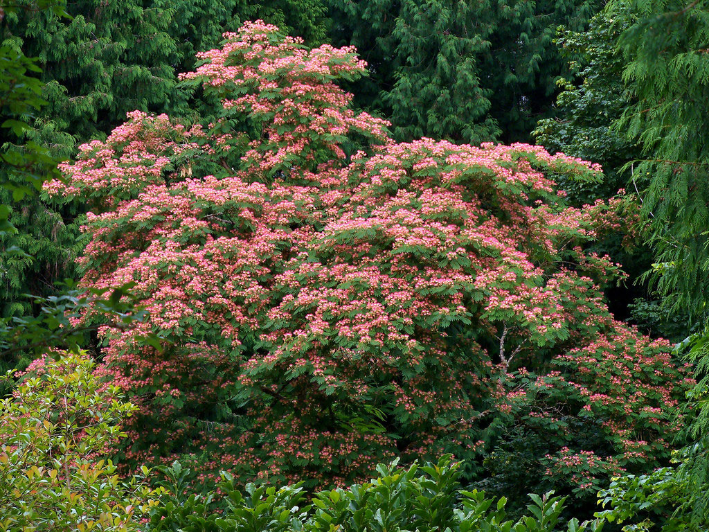 Albizia julibrissin | Mimosa Tree | 10_Seeds