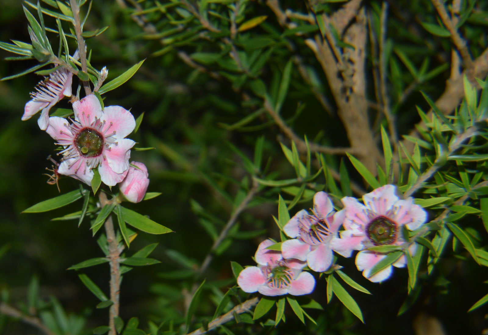 Leptospermum scoparium Ray Williams | 100_Seeds