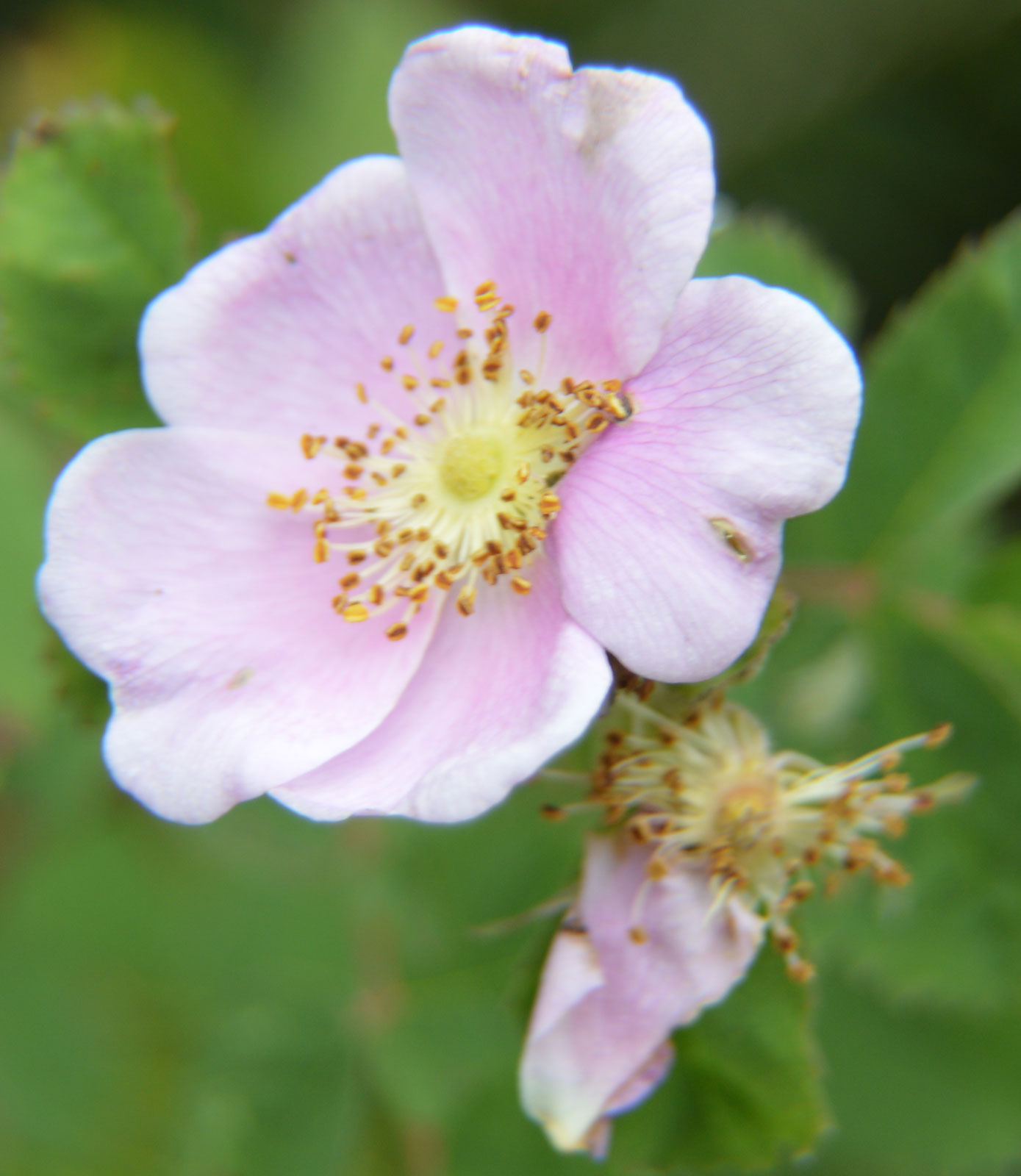 Rosa californica | California Wildrose | 10_Seeds