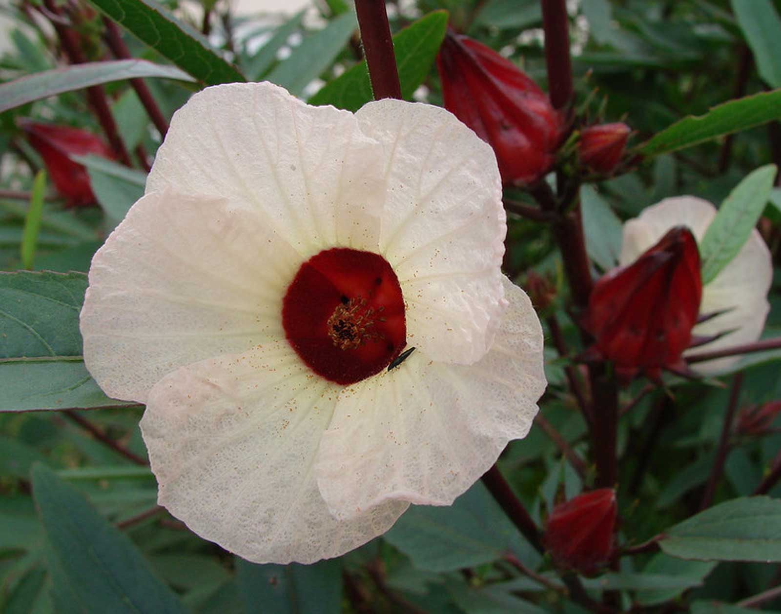 Hibiscus sabdariffa roselle jamaican tea maple leaf hibiscus hibiscus sabdariffa roselle jamaican tea maple leaf hibiscus 20seeds larger image izmirmasajfo Choice Image