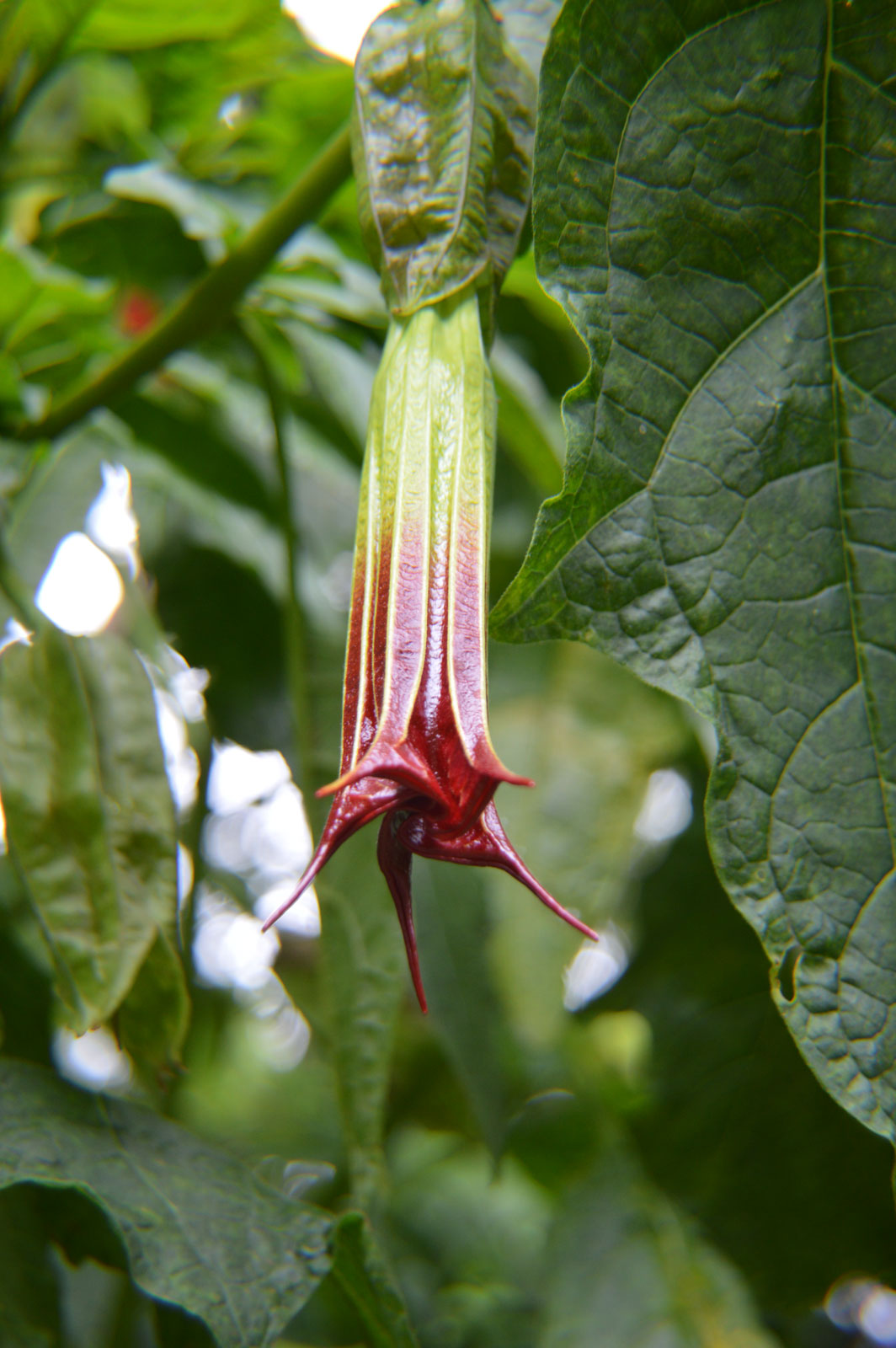 Brugmansia sanguinea Red | Eagle Tree | Mountain Angel Trumpet | 10_Seeds