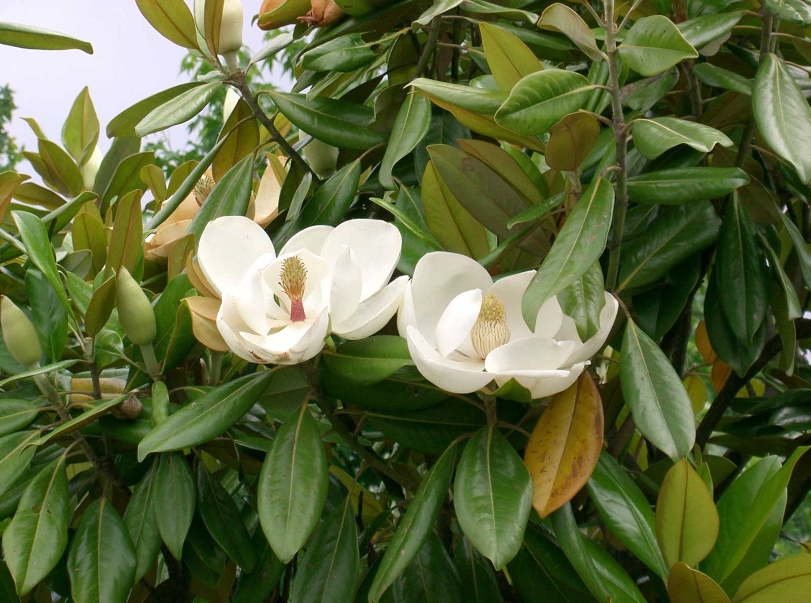 Magnolia grandiflora | Southern Magnolias | Bull Bay | 20_Seeds