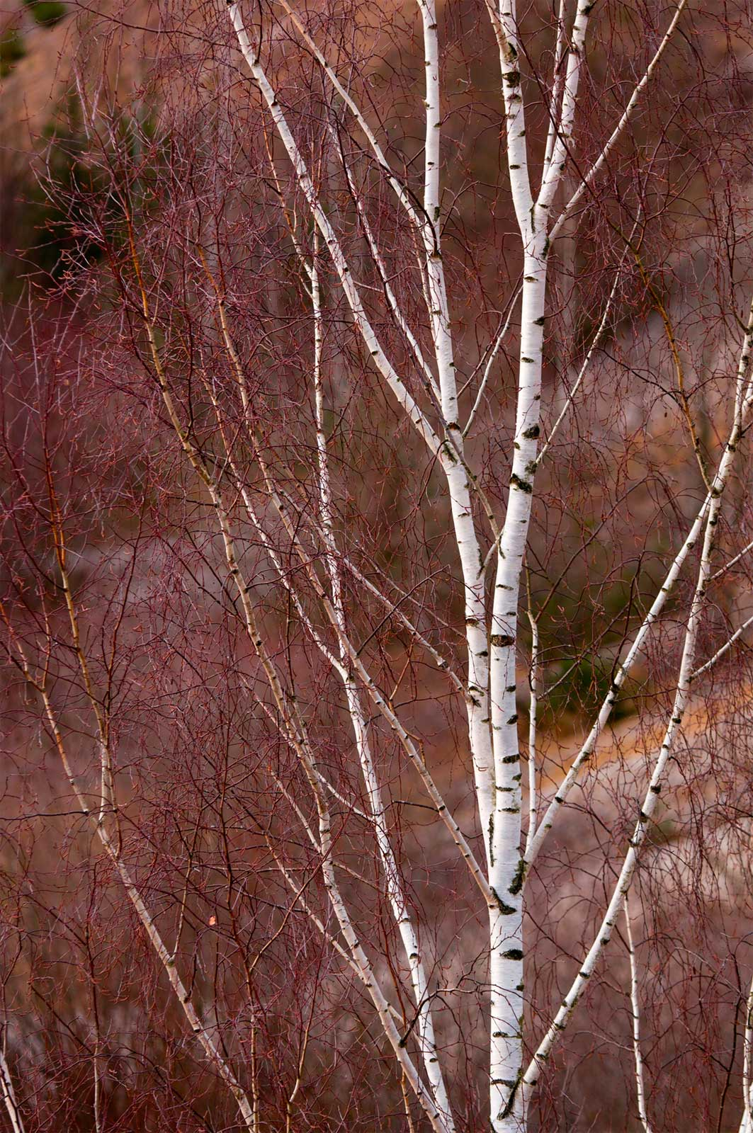 white birch paper Betula papyrifera (white birch, paper birch, canoe birch) seeds beautiful native  birch common to canada and the northern united states.