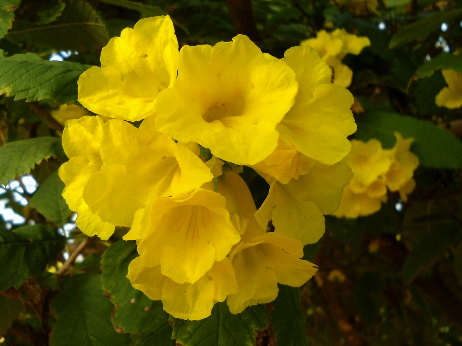 Tecoma stans | Yellow Bells | Trumpet Flower | 10_Seeds