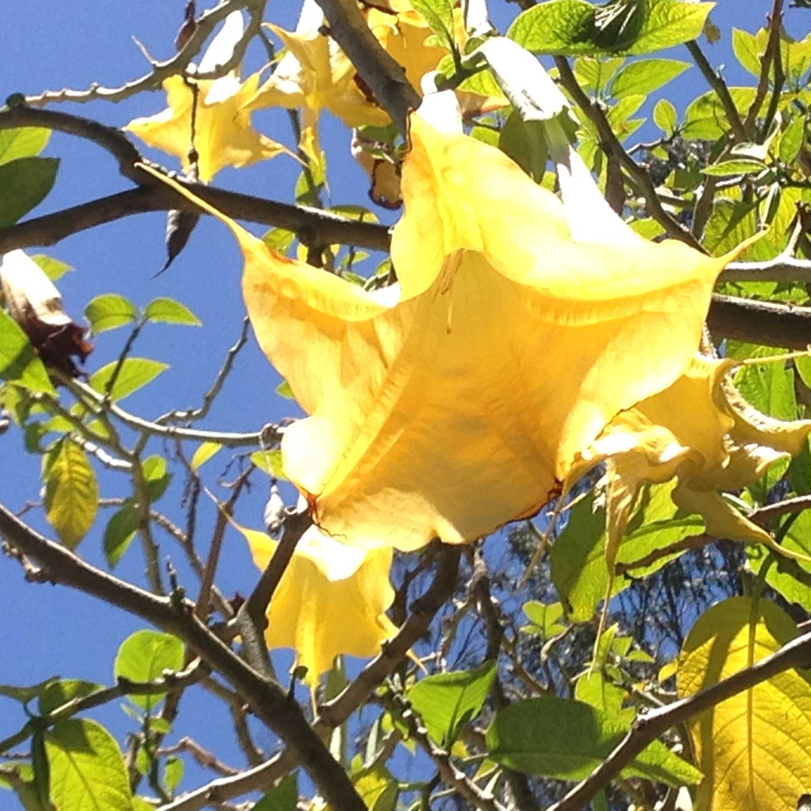Brugmansia suaveolens Yellow | 20_Seeds