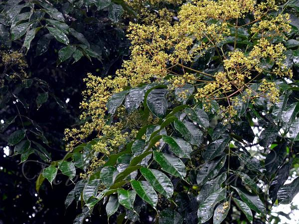 Zanthoxylum rhetsa | Indian Prickly Ash | Cape Yellowwood | 20_Seeds