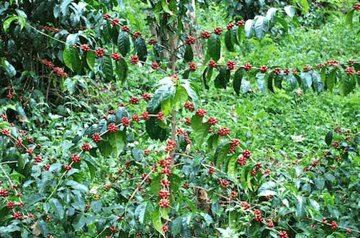 Coffea arabica Caturra | Dwarf Coffee | 10_Seeds