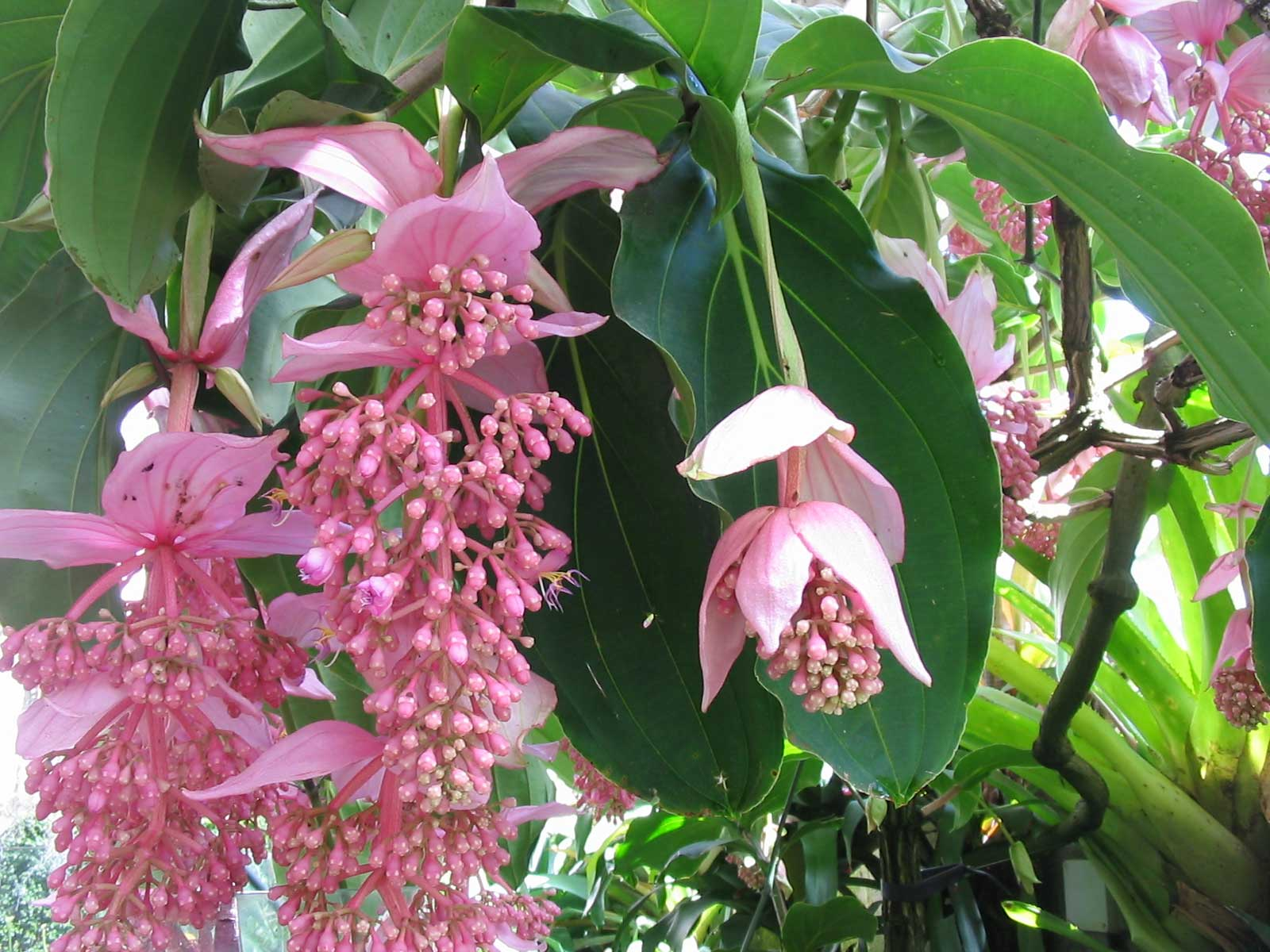 Medinilla magnifica | Showy | Philippine orchid | 20_Seeds