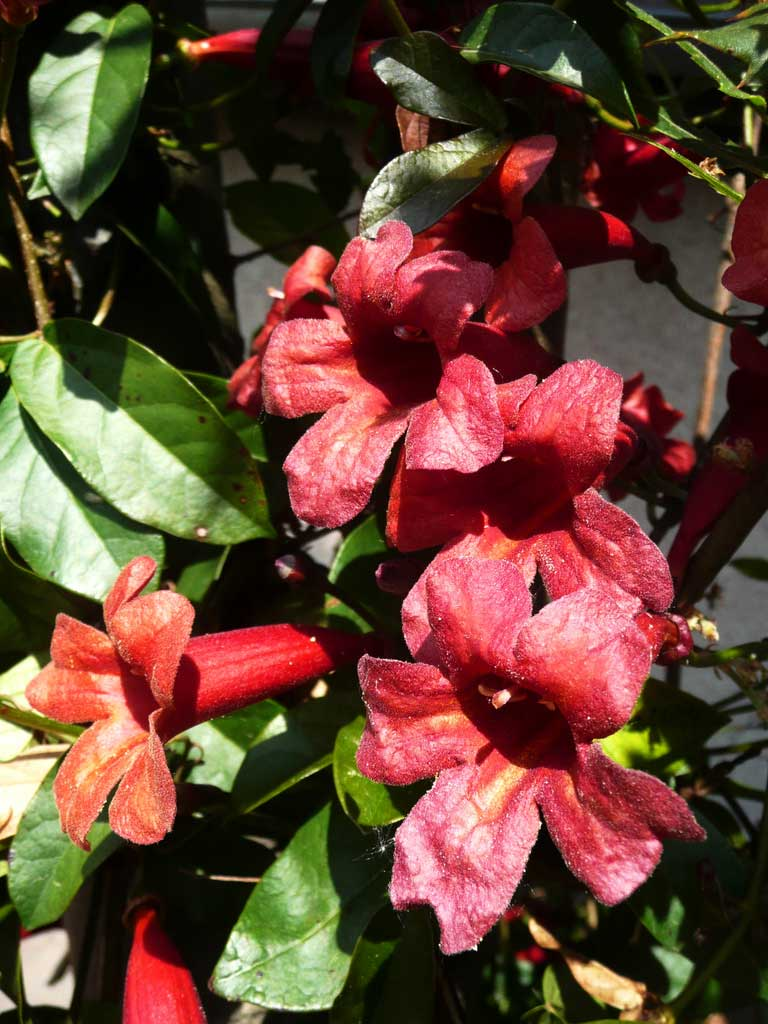 Bignonia capreolata Atrosanguinea | Red Cross Vine | Trumpet Flower | 10_Seeds