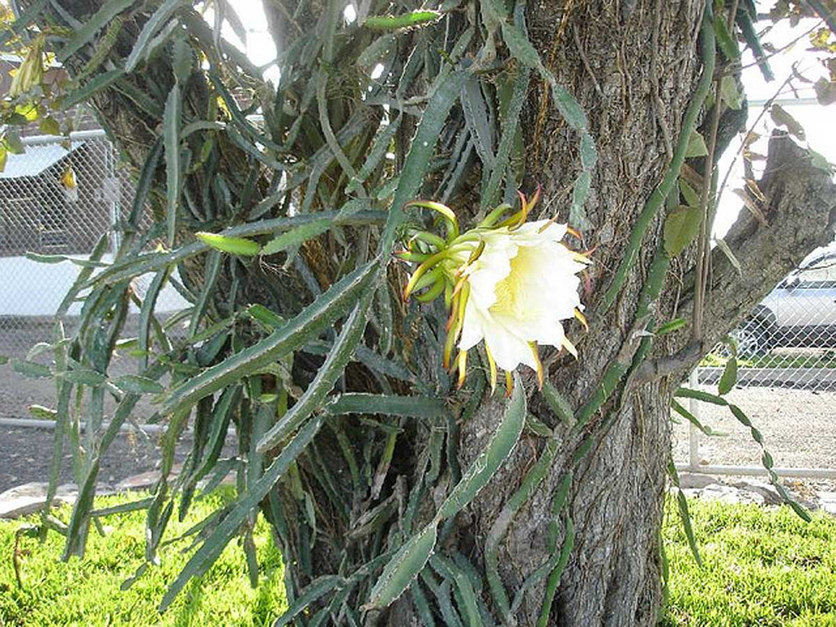 Hylocereus costaricensis | polyrhizus | Dragon Fruit | Pitajaya | 50_Seeds