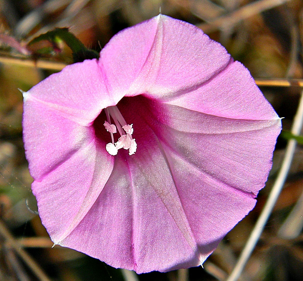 Ipomoea cordatotriloba | Sharp-pod Morning-glory | 10_seeds