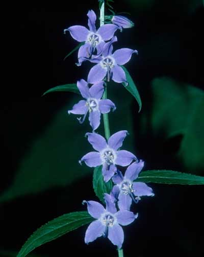 Campanulastrum americanum | Tall American Bellflower | 100_Seeds