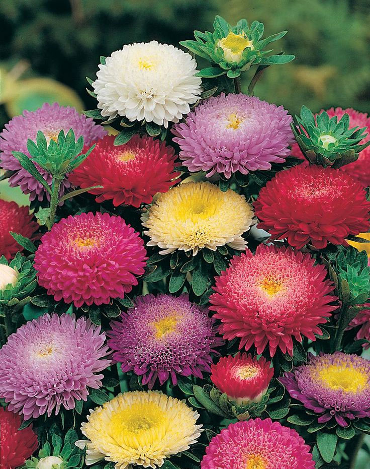 Callistephus chinensis Powderpuff Mix | 10_Seeds