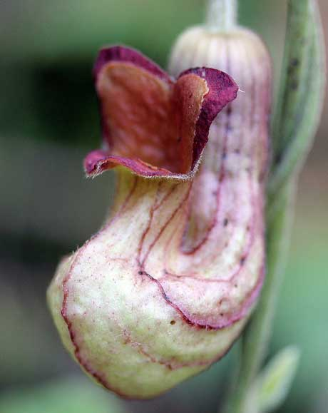 Aristolochia californica | California Pipevine | 5_Seeds
