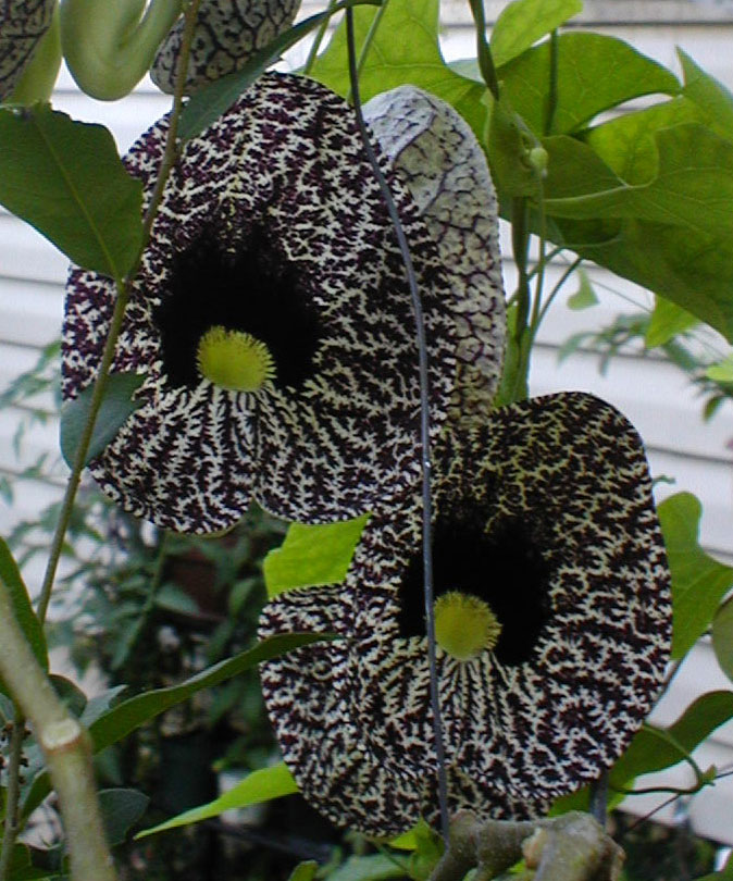 Aristolochia elegans | Elegant Dutchmans Pipe | Calico Flower | 10_Seeds