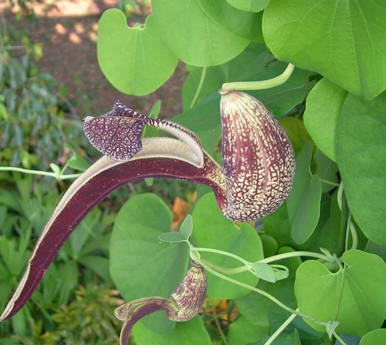 Aristolochia ringens | Gaping Dutchmans Pipe | 10_Seeds