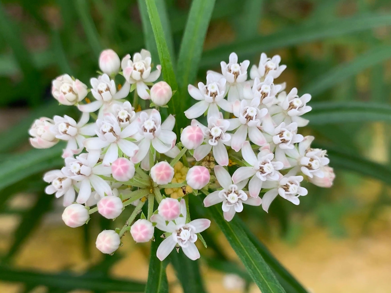Asclepias angustifolia | Arizona Milkweed | 10_Seeds