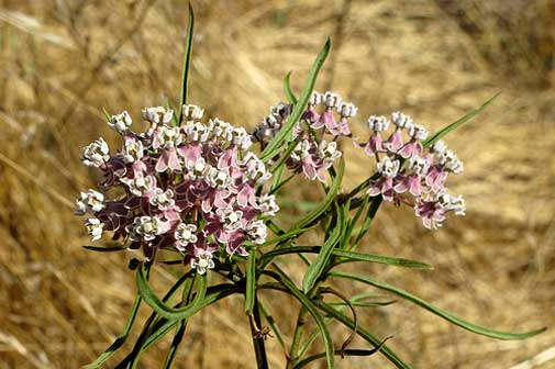 Asclepias fascicularis | Mexican Whorled Narrow Leaf Milkweed | 100_Seeds