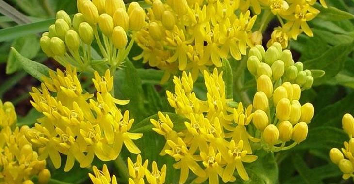 Asclepias tuberosa Hello Yellow | 10_Seeds