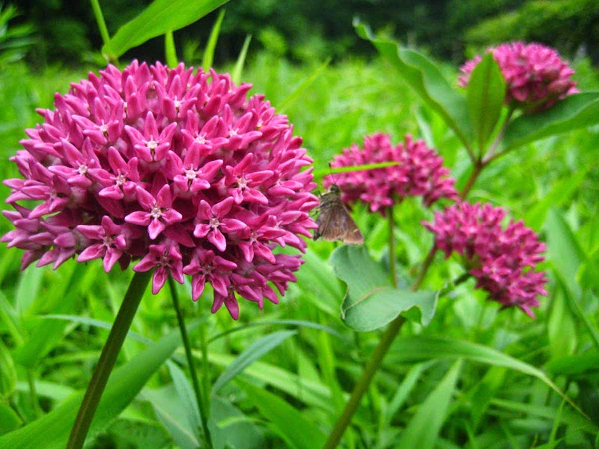 Asclepias purpurascens | Purple Milkweed | 10_Seeds