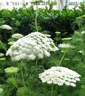 Ammi visnaga Green Mist False Queen Annes Lace Toothpick Weed