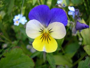 This is Viola tricolor, also known as johnny jump up, heartsease, hearts ease, hearts delight, tickle-my-fancy, Jack-jump-up-and-kiss-me, come-and-cuddle-me, three faces in a hood, wild pansy, and love-in-idleness. This adorable little pansy does not mind if it lives in full sun or full shade, and it will adapt to most all growing conditions. This cute little survivor is the larval host plant for the Variegated Fritillary, Great Spangled Fritillary, and Gray Hairstreak butterflies. Johnny jump up is a nectar plant for the  Falcate Orangetip butterfly. The petals of this plant are edible and used in salads or desserts most of the time. The petals are picked just as the flower opens up and then they are soaked in cold water until they swell up. Not only are the flowers edible but they contain antioxidants. This plant is grown as an annual in some places and it is a short lived perennial in USDA Hardiness Zones 2b to 9