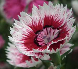 This is Dianthus barbatus, also known as Sweet William. This plant likes to live in the full sun, but could use some afternoon shade if you live down south. So if you do keep an eye on it and see if it starts looking sad in afternoon full sun. The birds, bees, and butterflies will especially love this plant when it is in the full sun. Growing to about a foot and a half high, this plant blooms in the middle of the Summer. This is a nectar source for the Giant Swallowtail, Palamedes Swallowtail, Yehl Skipper, Eufala Skipper, Clouded Skipper, Common Roadside-Skipper, and Eastern Tiger Swallowtail butterflies, and the Banded sphinx , and Heliothis phloxiphaga moths. The flowers of this plant are edible. This biennial or short lived perennial can survive the winter in USDA Hardiness Zones 4 to 8.